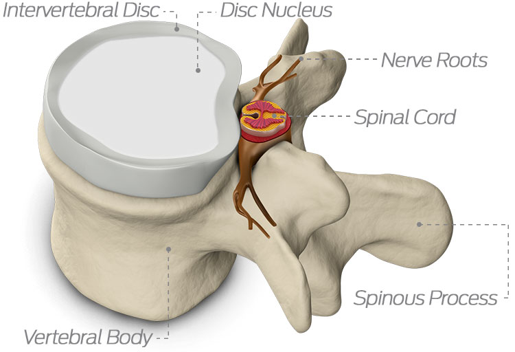 The spine anatomy